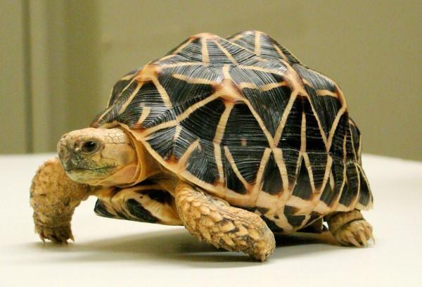 طرح جابر لاکپشت